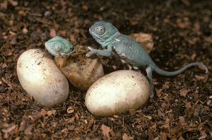 Baby Veiled Chameleons (Chamaeleo calyptratus) hatching after 9 months