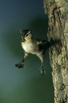 Baby Wood Duck (Aix sponsa) jumping. PA East N.A. May