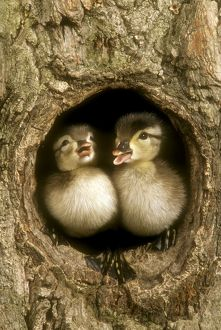 Baby Wood Ducks in Nest Hole (Aix sponsa) PA, East N.A., May