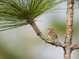 Bachman's Sparrow (Aimophila aestivalis), perched on pine branch, Three Lakes