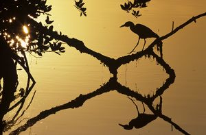 Backlit Night Heron on Mangrove with Sun Flare and Reflection, FL