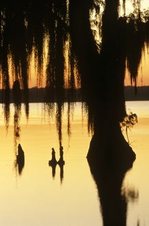 Bald Cypress Tree, Knees & Spanish Moss at Sunrise, December, Lake Verret, LA