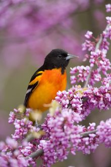 Baltimore Oriole (Icterus galbula) male in breeding plumage, perched in flowering