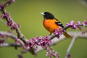 Baltimore Oriole (Icterus galbula) male perched in flowering redbud, Freeville NY