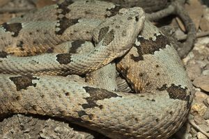 Banded Rock Rattlesnake (Crotalus lepidus klauberi) in controlled situation in Central PA