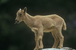 Barbary Sheep aka Aoudad, Lamb standing on rockwith grass in its mouth(Ammotragus lervia)