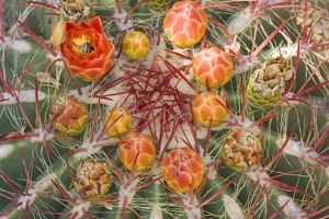 Barrel Cactus Flowers, Colorado Desert, California, USA