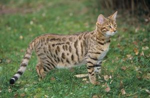 Bengal Cat in Grass