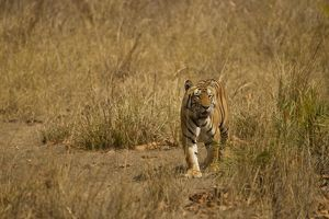 Bengal Tiger, Panthera tigris tigris, walking in Kanha National Park, India