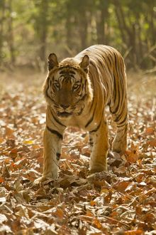 Bengal Tiger (Panthera tigris tigris) walking in Bandhavgarh National Park