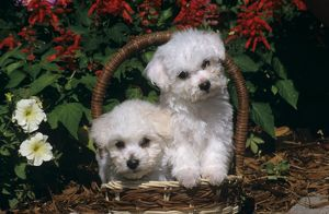 Bichon Frise Puppies in Basket with Flowers behind, CO Springs