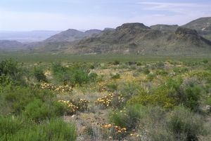 Big Bend NP, TX: Prickly Pear Cactus and Mountains, Texas