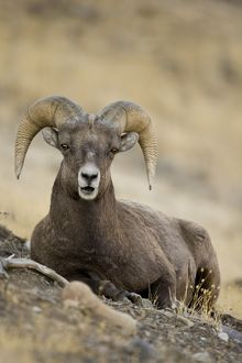 Bighorn sheep, Ovis canadensis, laying down on a rocky hillside in Yellowstone NP, USA