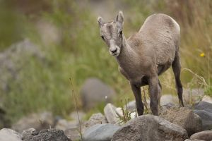 Bighorn Sheep (Ovis canadensis) Yellowstone National Park, USA
