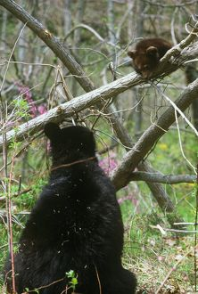 Black Bear with 17 Week old Cub in Spring (Ursus americanus)