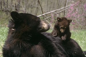 Black Bear Cub climbingon Back on Mom (Ursus americanus), 17 Weeks old