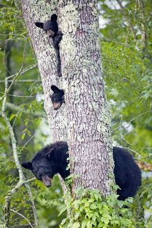 Black Bears (Ursus americanus) in black cherry tree, Cades Cove, Great Smoky Mts Natl Park