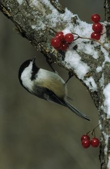 Black-capped Chickadee (Parus atricapillus) in Tree with Berries, MI, Kensington Metropark