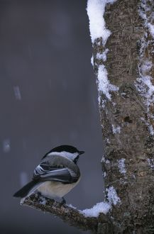 Black-capped Chickadee (Parus atricapillus) in Tree with Snow falling MI