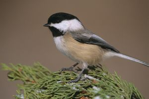 Black-capped Chickadee (Parus atricapillus), Kensington Metropark, MI, Michigan