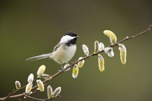 Black-capped Chickadee (Poecile atricapilla) perched with pussy willow catkins