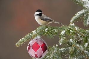 Black-capped Chickadee (Poecile atricapilla) with Christmas decoration