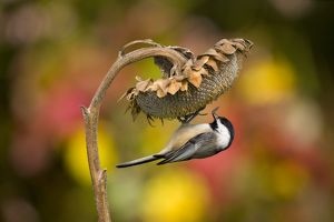 Black-capped Chickadee (Poecile atricapilla) clinging to take a seed from sunflower