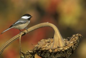 Black-capped Chickadee (Poecile atricapillus) on Sunflower, Freeville, NY, New York