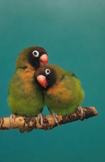Black-cheeked Lovebirds (Agapornis nigrigenis), mutual grooming