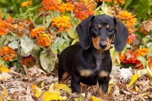 Black smooth-haired mini Dachshund pup in leaves, zinnias; Gurnee, Illinois, USA (PD)