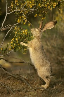 Black-tailed Jack Rabbit (Lepus ludovicianus) Joshua Tree NM, CA, California
