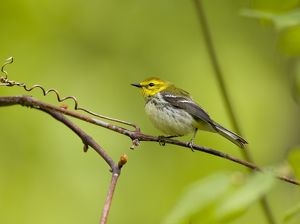 Black-throated Green Warbler (Dendroica virens), female, New York, USA