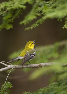 Black-throated Green Warbler (Dendroica virens), male in breeding plumage singing