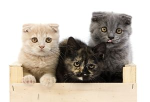 Black Tortoise-Shell British Shorthair With Blue And Cream Scottish Fold Kittens