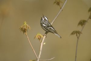 Black & White Warbler, male singing (Mniotilta varia), Dryde, NY, Spring