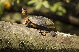 Black Wood Turtle (Rhinoclemmys funerea) Costa Rica, on log in water hole