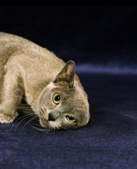 Blue Burmese Domestic Cat, Adult Scratching Ear