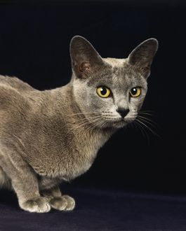 Blue Burmese Domestic Cat, Portrait Of Adult