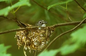 Blue-headed Vireo male incubating on nest (V. solitarius), Hawks, Michigan