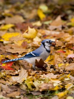 Blue Jay (Cyanocitta cristata) holding an acorn: jays gather many acorns in autumn
