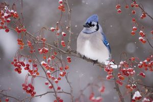 Blue Jay (Cyanocitta cristata) perched amid berries, with falling snow in winter