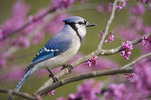 Blue Jay (Cyanocitta cristata) perched in flowering eastern redbud in spring