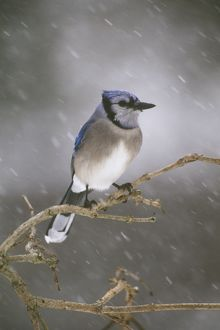 Blue Jay in snowstorm (Cyanocitta cristata) Freeville, New York