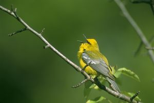 Blue-winged Warbler male singing in spring, Ithaca NY