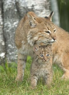 Bobcat (Lynx rufus) showing affection toward kitten Minnesota Northwoods Controlled