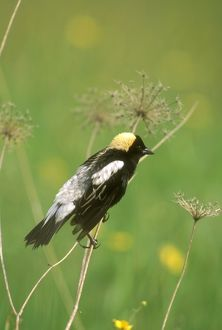 Bobolink Male in Breeding