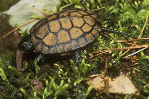 Bog Turtle Eating Worm