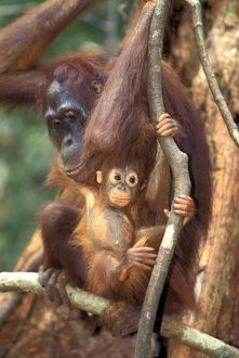 Borneo Orangutan (Pongo pygmaeus), adult female with young in tree Tanjung Puting