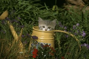 British Shorthair Kitten & Watering Can