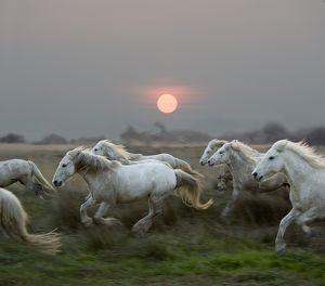 Camargue Horse, Herd Galloping At Sunset, Saintes Marie De La Mer In The South Of France